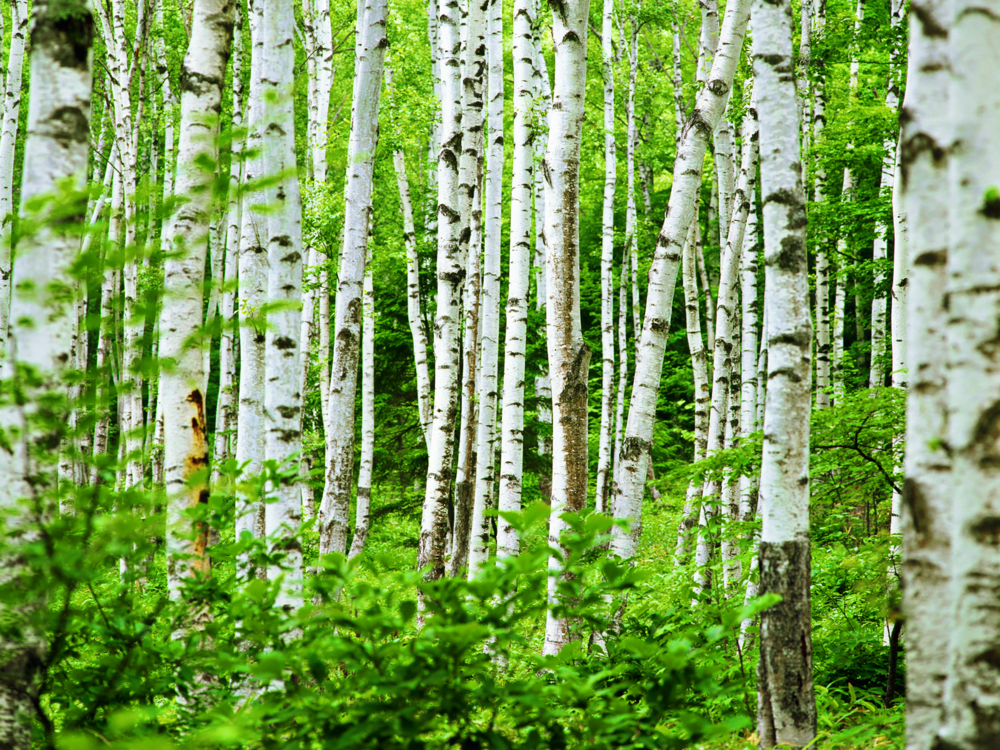 birch-wallpapers-27775-7747308.png