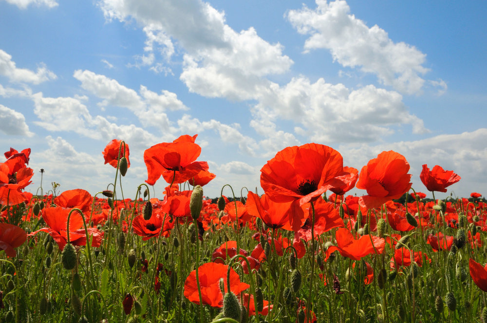 poppies3-resized.jpg