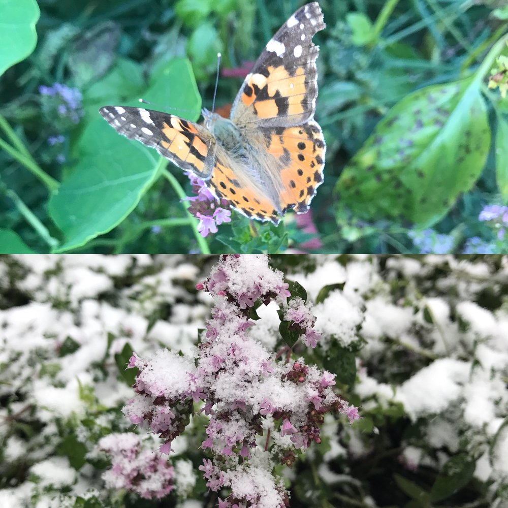 - On the oregano blossoms... butterflies on Sunday... snow on Monday...