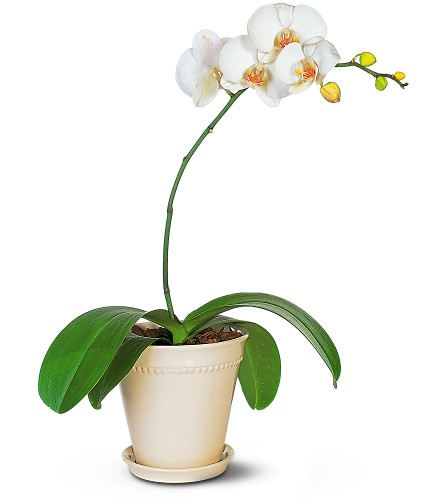 white-orchid-plant.jpg