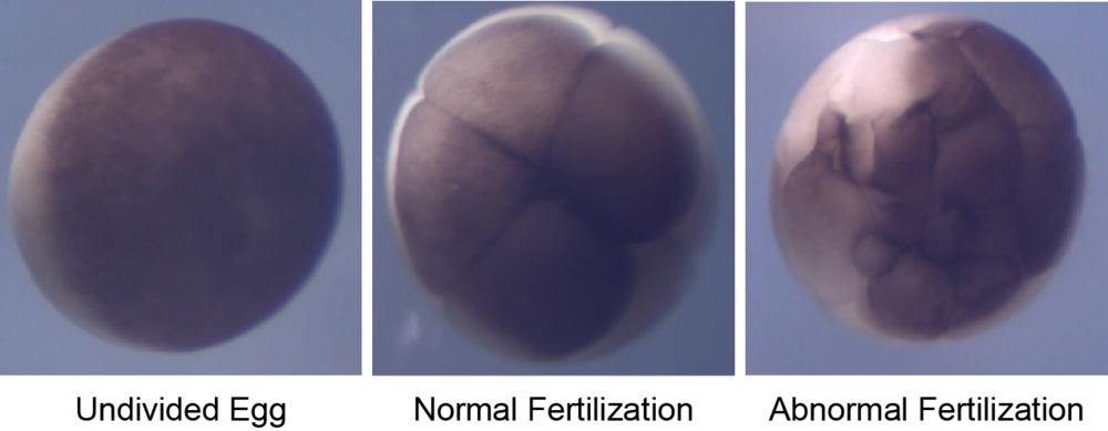 In normal fertilization, the embryonic cleavage furrows develop symmetrically and transverse the entire embryo (center photo at 8 cell stage).  By contrast, the cleavage furrows develop irregularly following fertilization by more than one sperm (right photo) (Wozniak  & Carlson, unpublished).