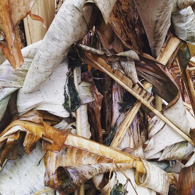 """As my feed will attest, my banana """"tree"""" is a perennial source of inspiration...this time collapsed on itself after deep freeze on this drizzly morning.  #myfavoritethings #backinthegarden #morningwalk #morninginspiration #creativepractice"""