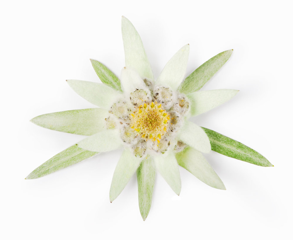 Edelweiss plant stem cell zosia beauty