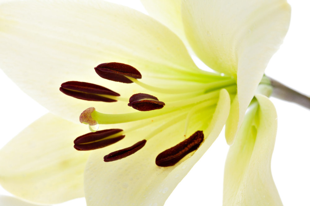 madonna lilly plant stem cell zosia beauty skincare