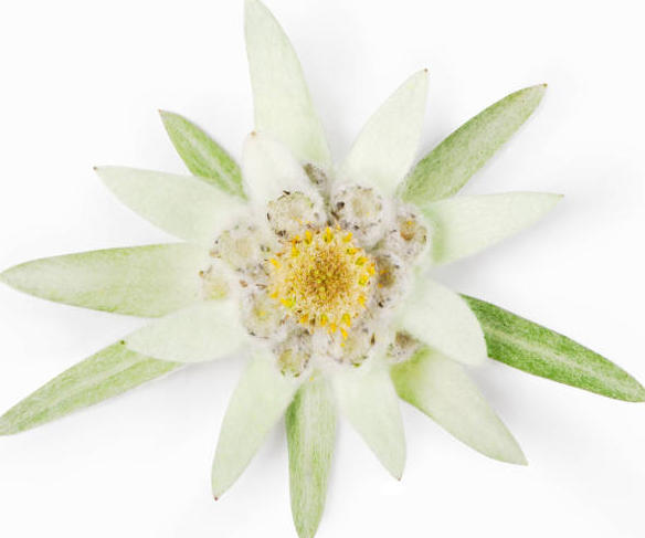 Edelweiss - reduces the appearance of wrinkle depth & maintains skin's firmness -