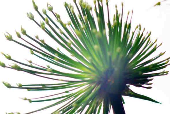 Cyperus Papyrus - increases hydration & helps give skin a supple, soft look -