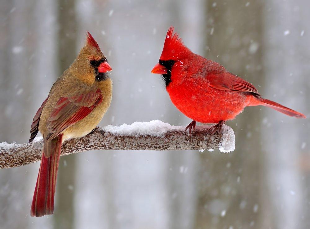 cardinals shutterstock_173896529.jpg