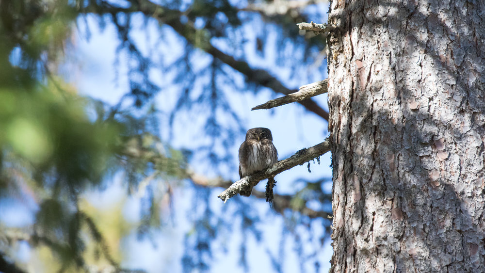 Male Eurasian Pygmy-owl in Chamonix area, France. Not baited. Not called in.