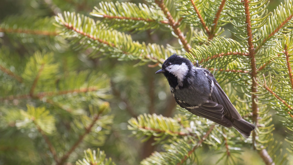 Coal Tit in Chamonix area, France. Not baited. Not called in.