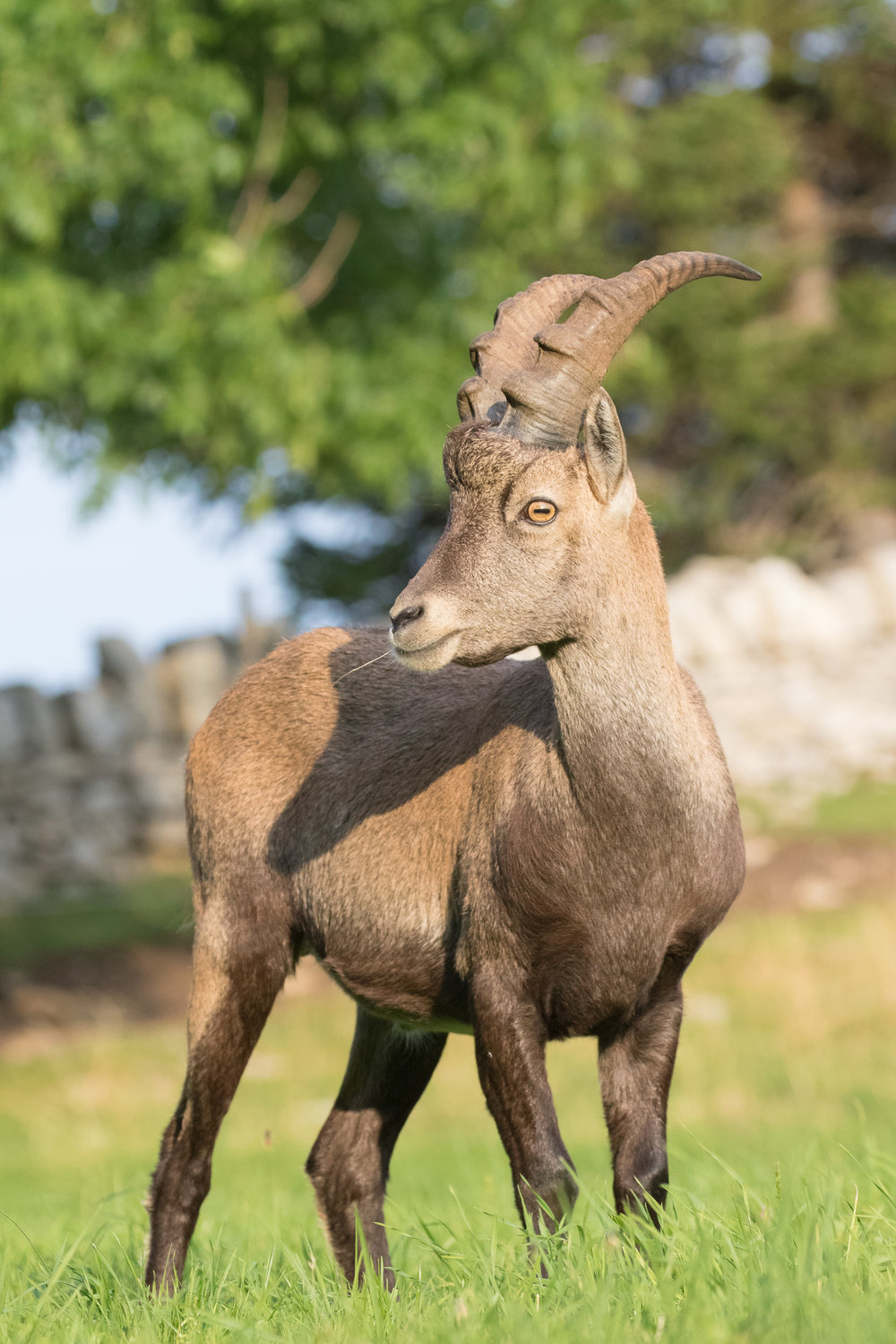 male-alpine-ibex-creux-du-van-switzerland-salva-fauna
