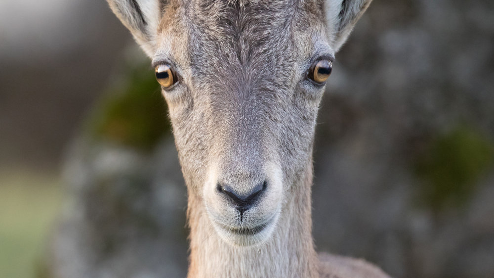 alpine-ibex-creux-du-van-switzerland-salva-fauna