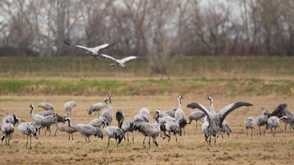 common-cranes-camargue-france