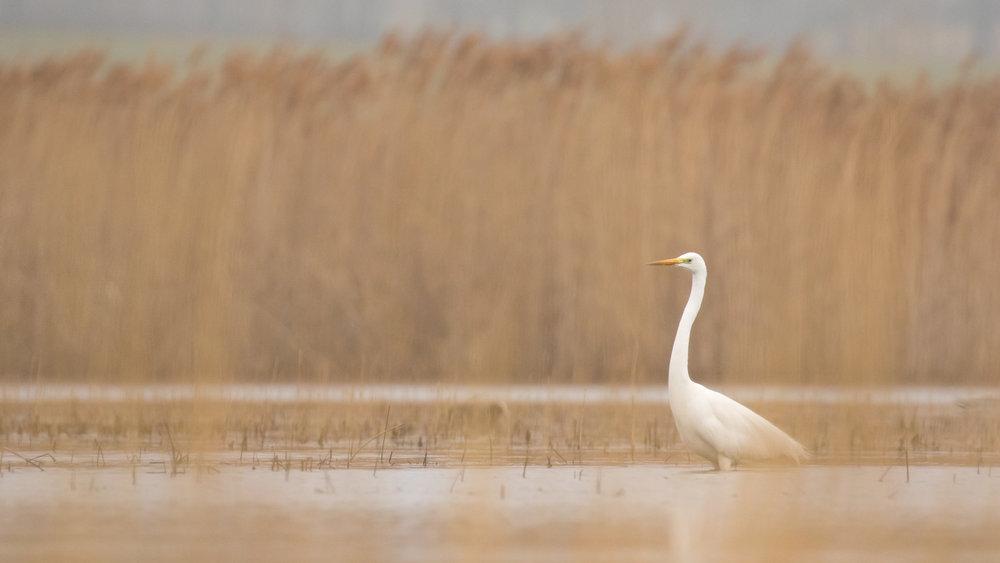 great-white-egret-marais-de-sionnet-switzerland