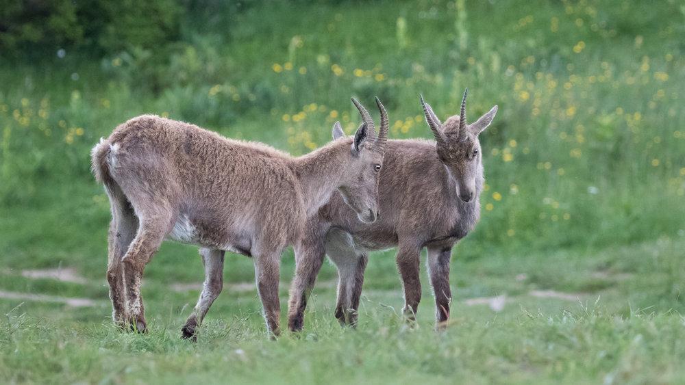 wild-alpine-ibex-switzerland-creux-du-van