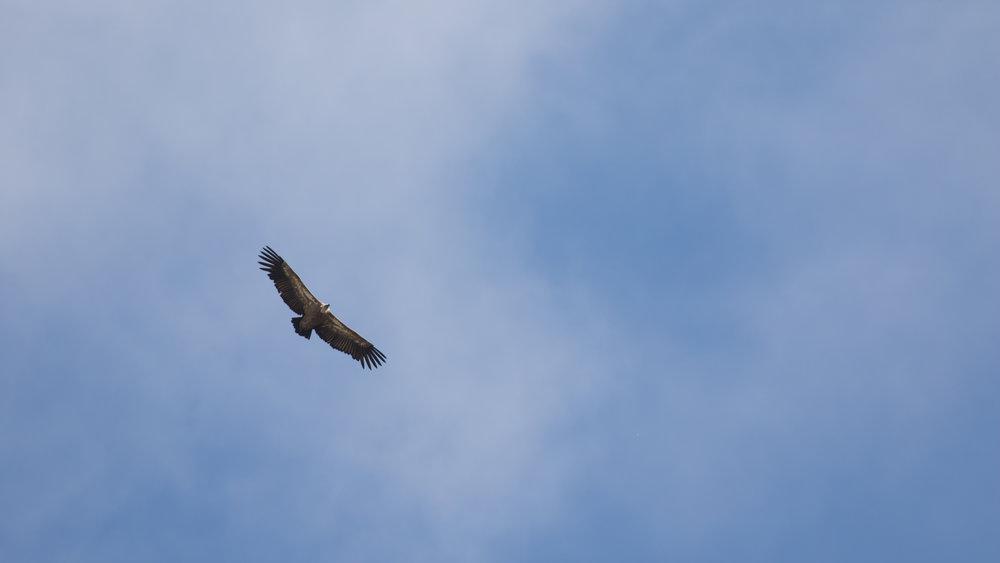 griffon-vulture-salva-fauna