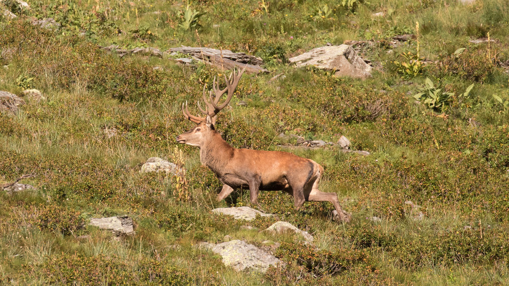 red-deer-stag-salva-fauna
