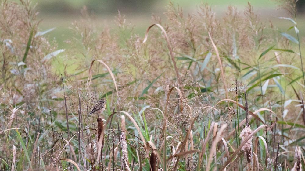 whinchat-marais-de-sionnet-switzerland-salva-fauna