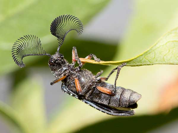 Photo: Wow! Those are pretty fancy looking eyelashes, I mean antennae, you have there, Mr Beetle.