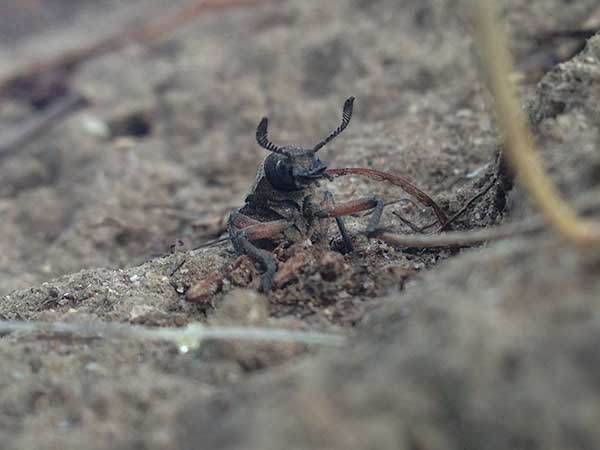 Photo: Female  Rhipicera  beetle, emerging from a hole in the ground.