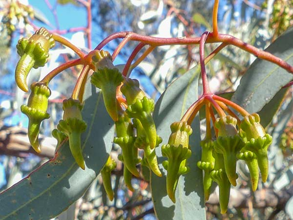 Photo: These unusual buds were most helpful for identification (from the same plant as previous flowers). I think this is Coral Gum,  Eucalyptus torquata,  from Western Australia.
