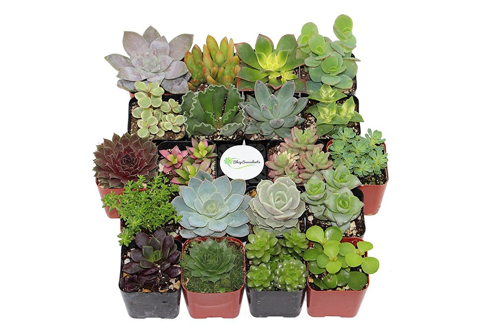 Succulents (Collection of 20)