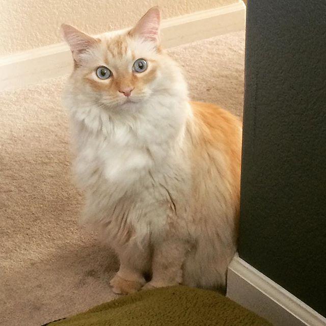 What, exactly, am I lookin' at right here? 😶😯🤔 #surprised #notsurprised #humansareweird #whatareyougonnado #mrkittycoco #orangetabby #blueeyes #cat #cats #catsofinstagram #gato #feline #denver #colorado