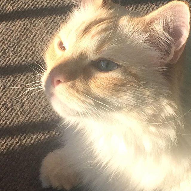 When the fresh morning air tickles my brain... #freshair #kittyface #mrkittycoco #cat #catsofinstagram #feline #gato #orangetabby #blueeyes #sunshine #denver #colorado 🌇#nofilter