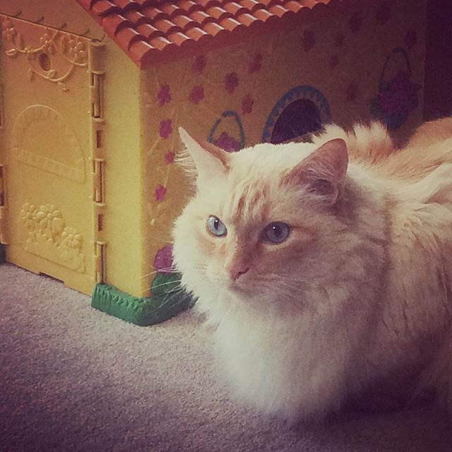 Waiting all day for Dora and Boots... #persistence #dreams #mrkittycoco #cat #cats #catsofinstagram #pets #orangetabby #blueeyes #denver #colorado