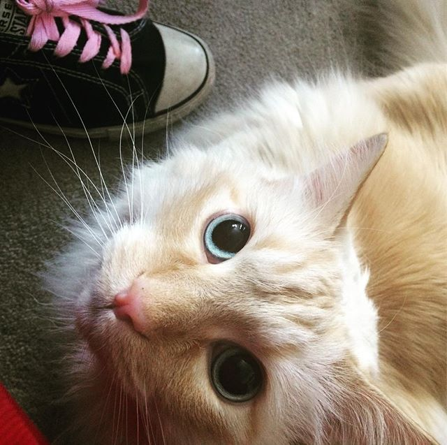 I look up to my Human, with near murderous affection... #loveyou #todeath #myhuman #mrkittycoco #cat #catsofinstagram #gato #feline #blueeyes #orangetabby #denver #colorado #flirtwithflavor #chucks #pinklaces