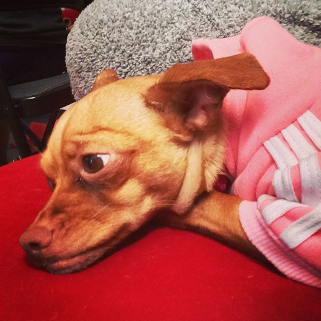 In a mood... #dogsofinstagram #lucybutton #chiweenie #weehuahua #mood #denver #colorado