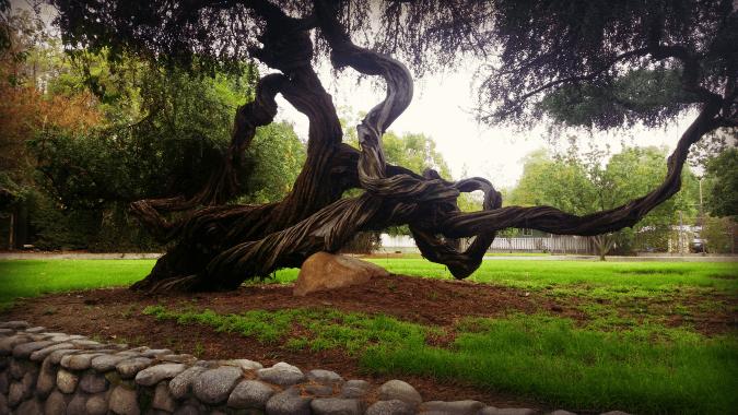 Tree in Claremonet