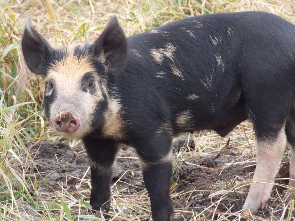 Pasture-Pork.jpg