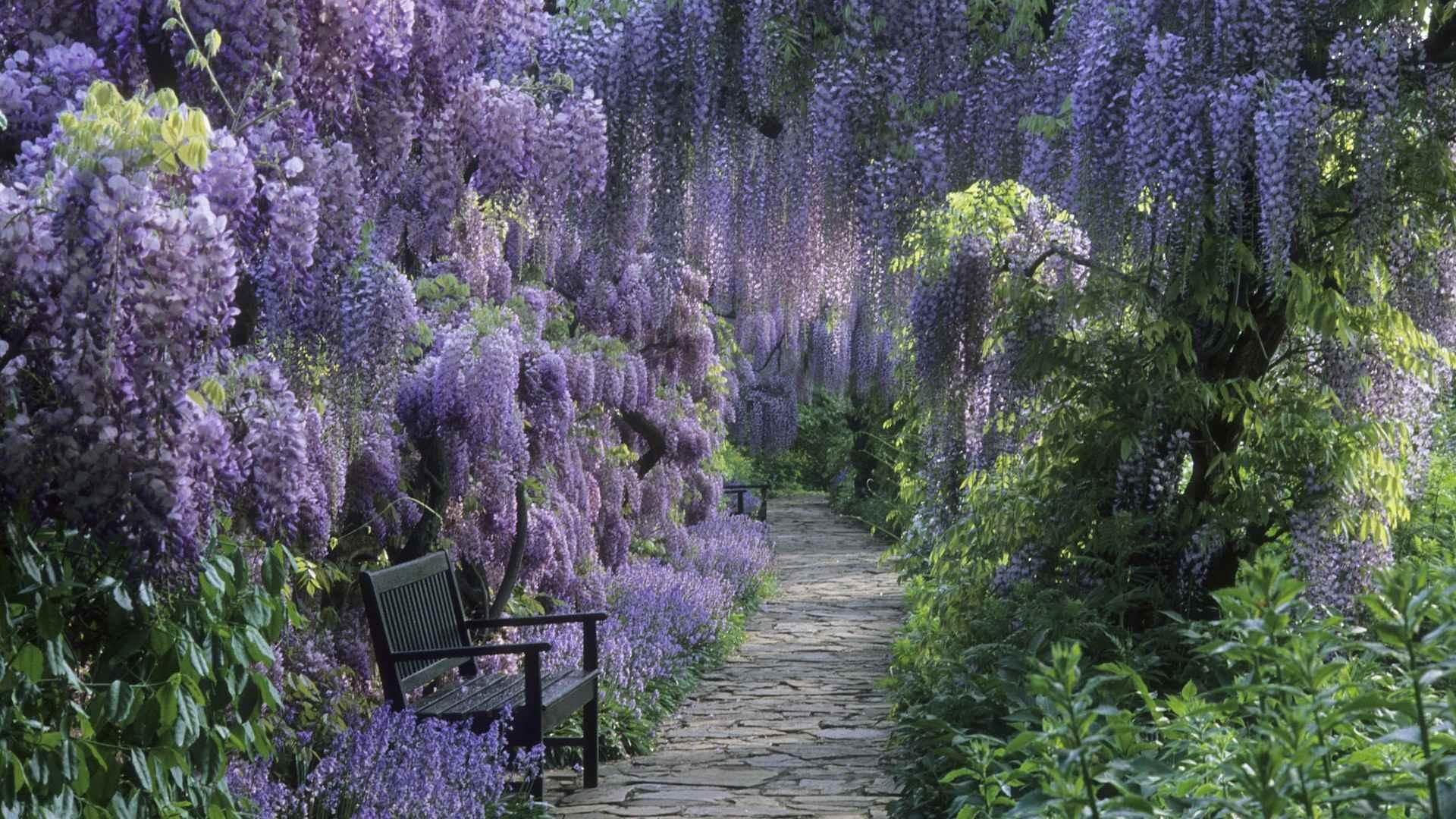 germany-wisteria_00267451-1light