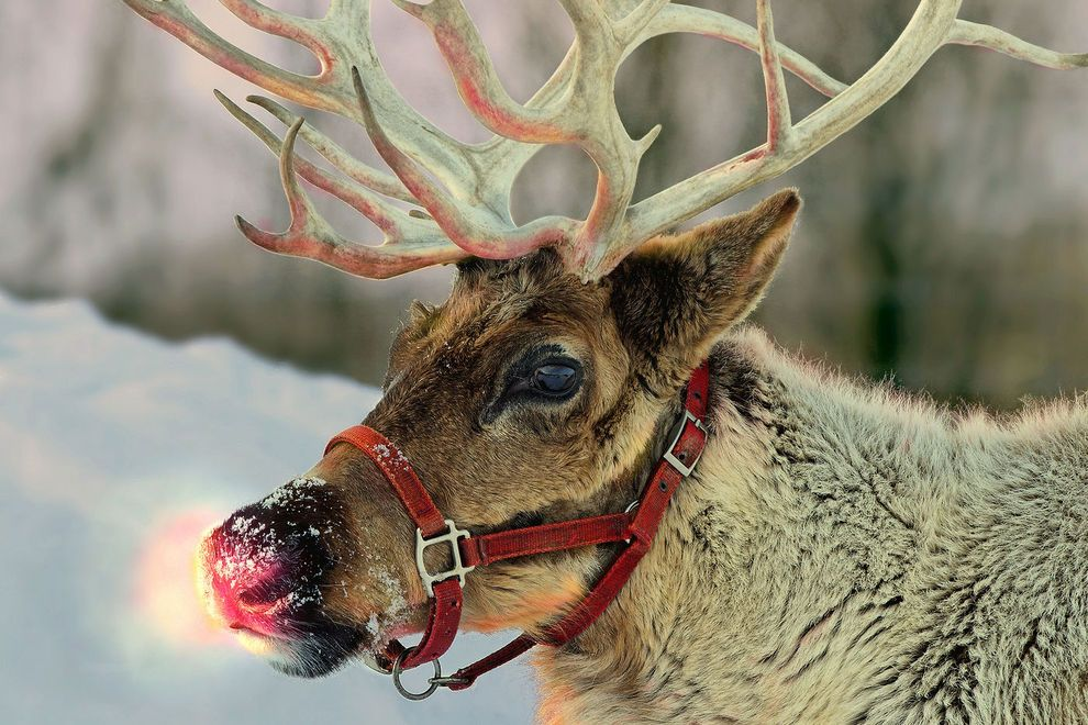 All About Those Reindeer 7 fun facts My Vet Me