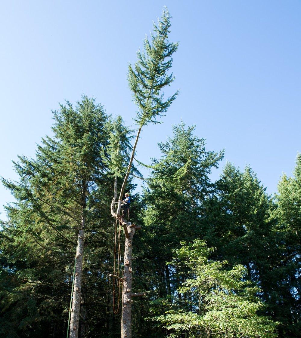 A Deodar Cedar ( Cedrus deodara ) removal in Duncan, Vancouver Island, Canada.