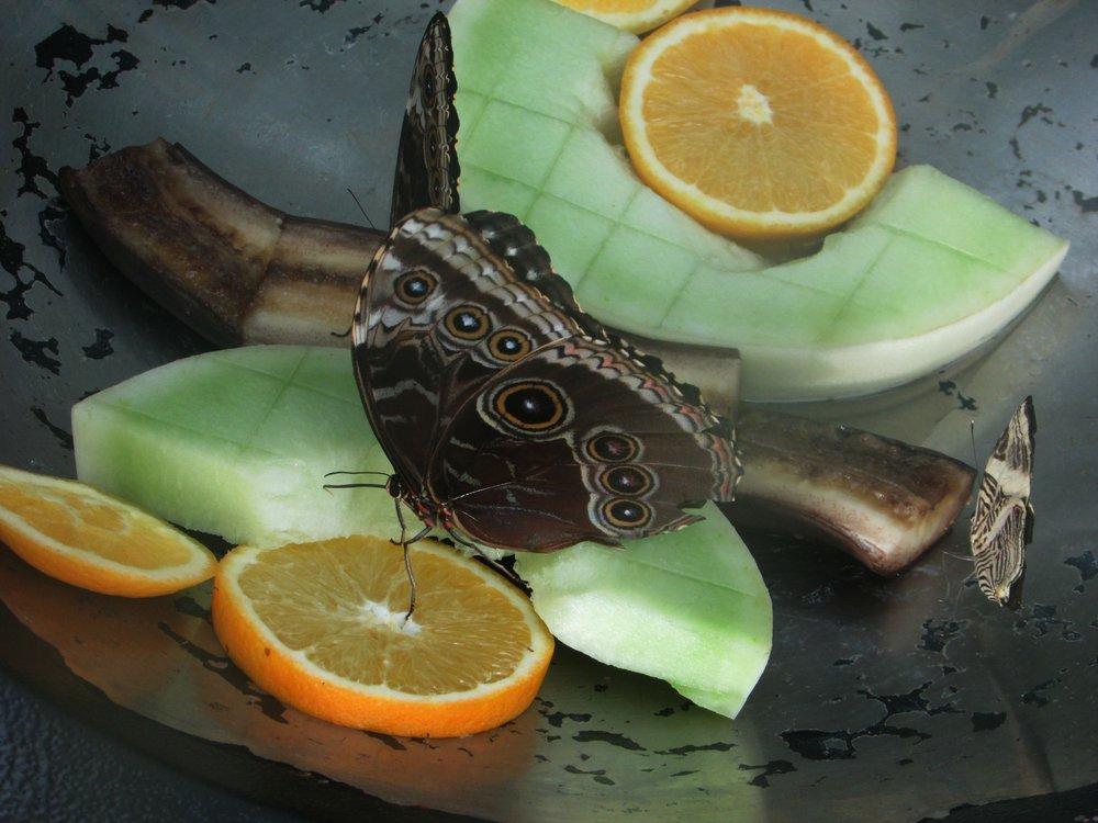 Butterfly Feast.jpg