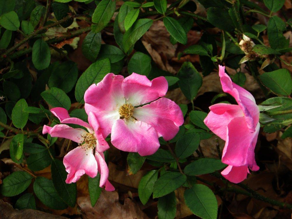 Prairie Rose.jpg