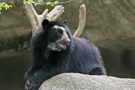 Bear AIV.jpg