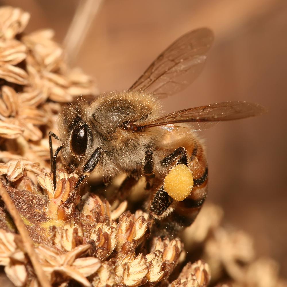 Honeybee pollen basket