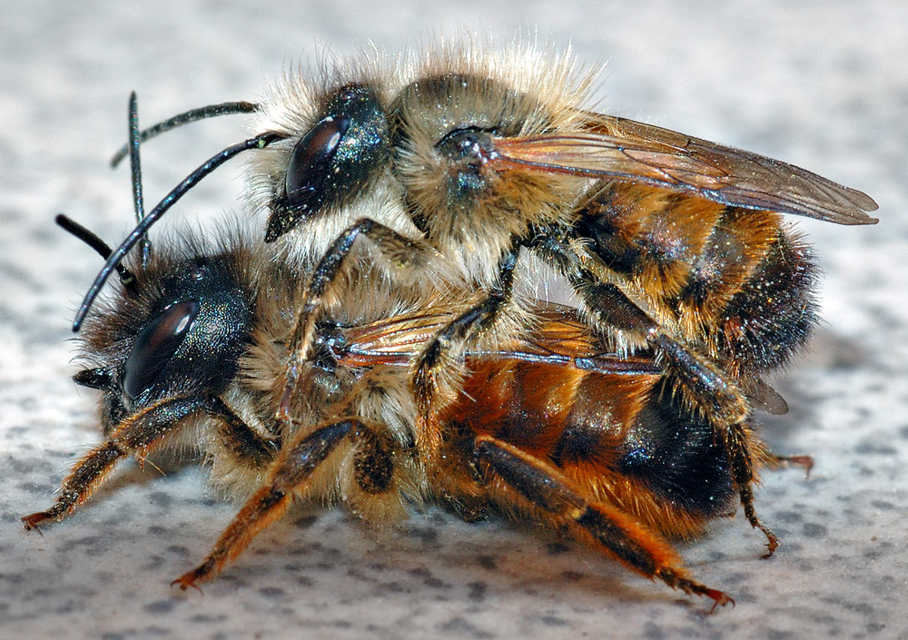 Two  Osmia bicornis  mating (Male on Top, Female below)