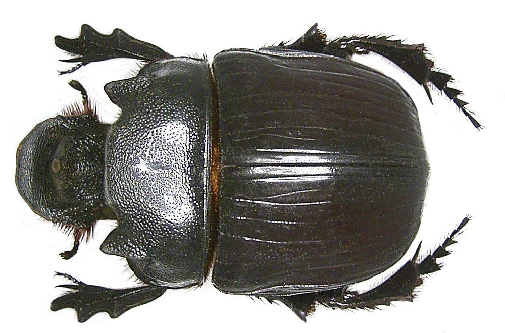 Heliocopris colossus