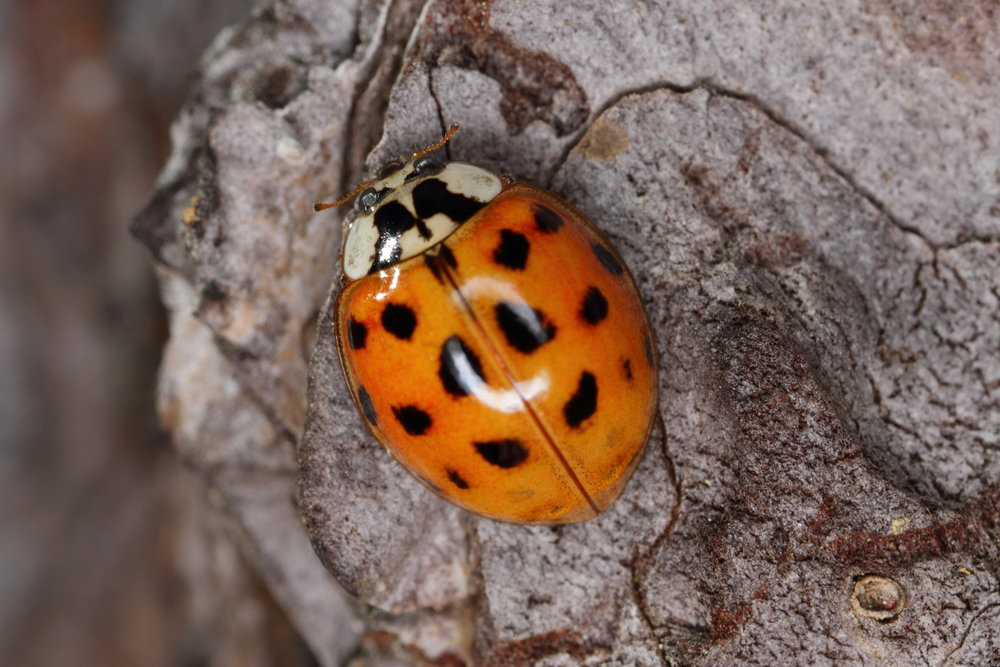An example of a Harlequin Ladybird ( Harmonia axyridis )   By spacebirdy - Own work, CC BY-SA 3.0