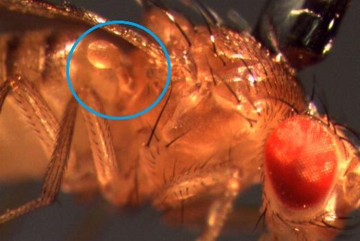 Haltere on  Drosophila    By Shwetha Mureli - Own work, CC BY-SA 4.0