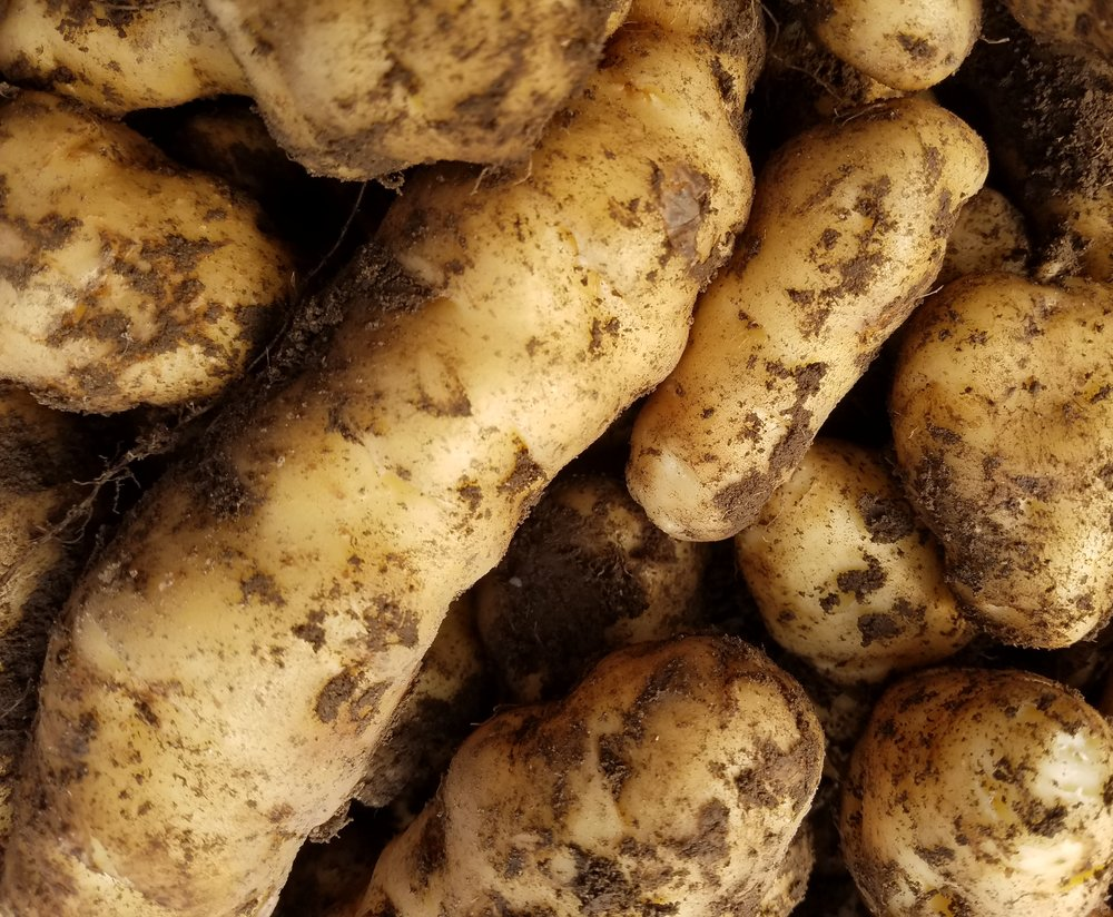 Ozzete Potato - These buttery heirloom fingerlings are the oldest potato variety grown in the Pacific North West. Great roasted, fried, sauteed, or mashed.