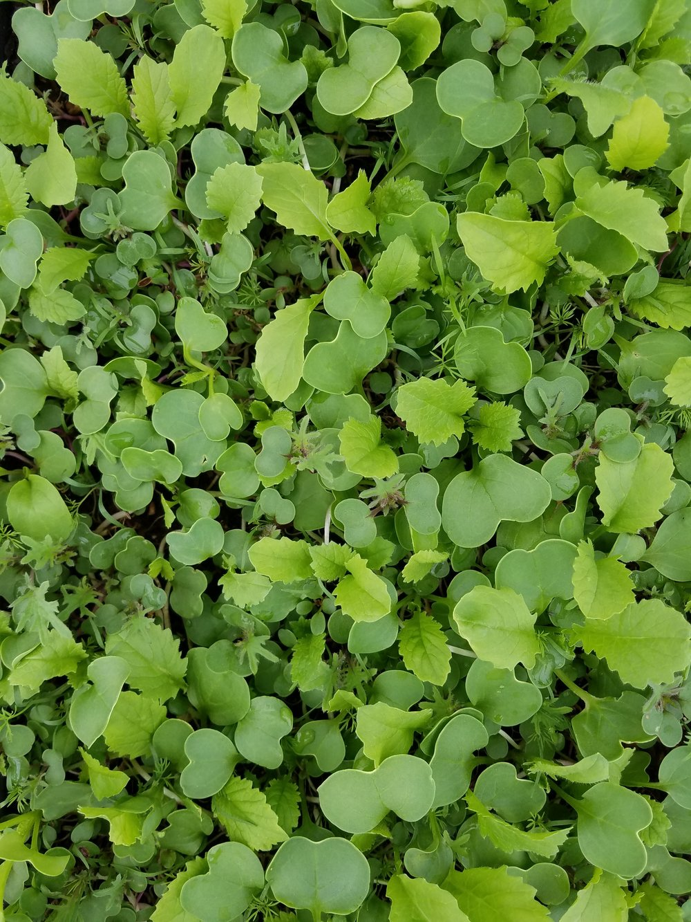 Microgreens -  A mix of baby greens and herbs harvested while still young and tender. A mix of  flavors makes them great as sandwich toppers, perfect on eggs, or tossed in your next salad.