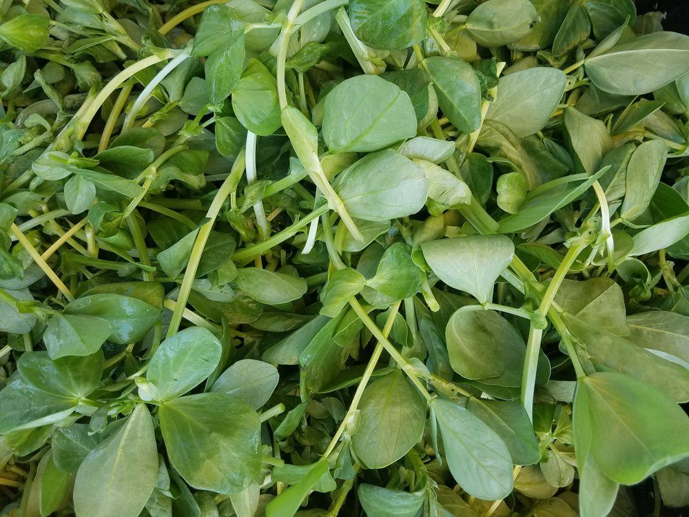 Fava sprouts - Tender baby legume plants have a sweet, nutty flavor similar to their full grown relatives. These tasty sprouts are a great on everything.