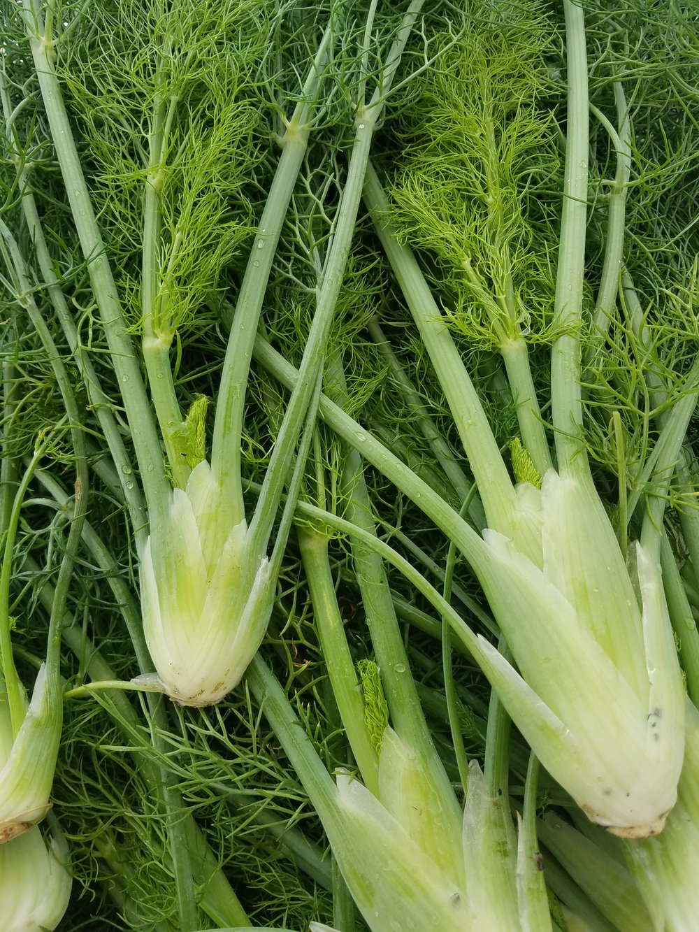 Fennel - A versatile herb that is delicious raw in salads, or roasted, sauteed, or stewed. The green fronds make a great pesto. Lends a fresh anise flavor to dishes