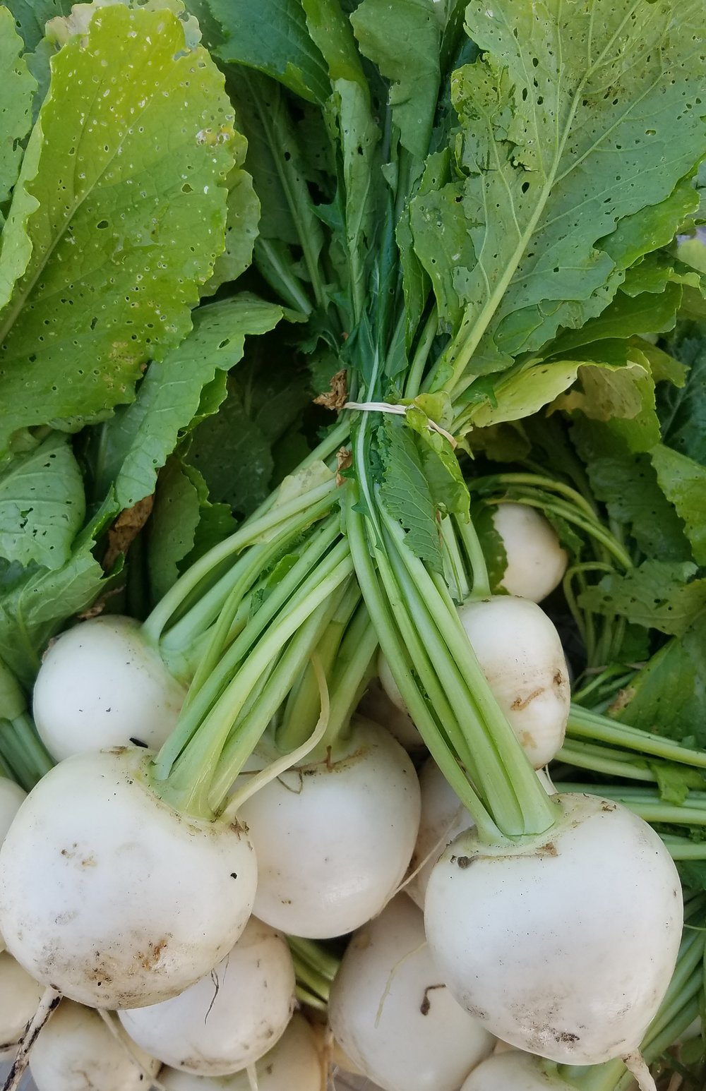Turnips - Mild tasting turnips are great raw in salads or thrown into your next soup. Try them roasted, buttered, or mashed.