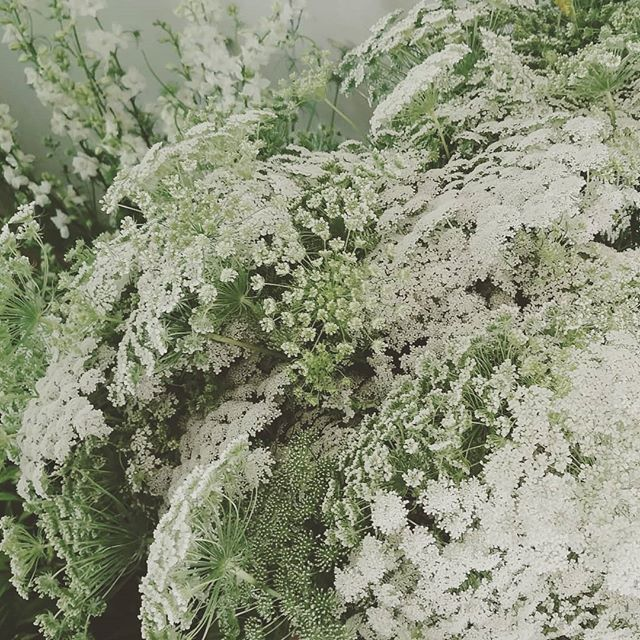 Clouds of Queen Anne's Lace...headed to a Saturday wedding! . . . #seattlefloraldesigner #seattleflorist #seattleweddingflowers #seattleweddings #swgm #slowflowers #queenanneslace #summerclouds #laughinggirl #laughinggirlflowers