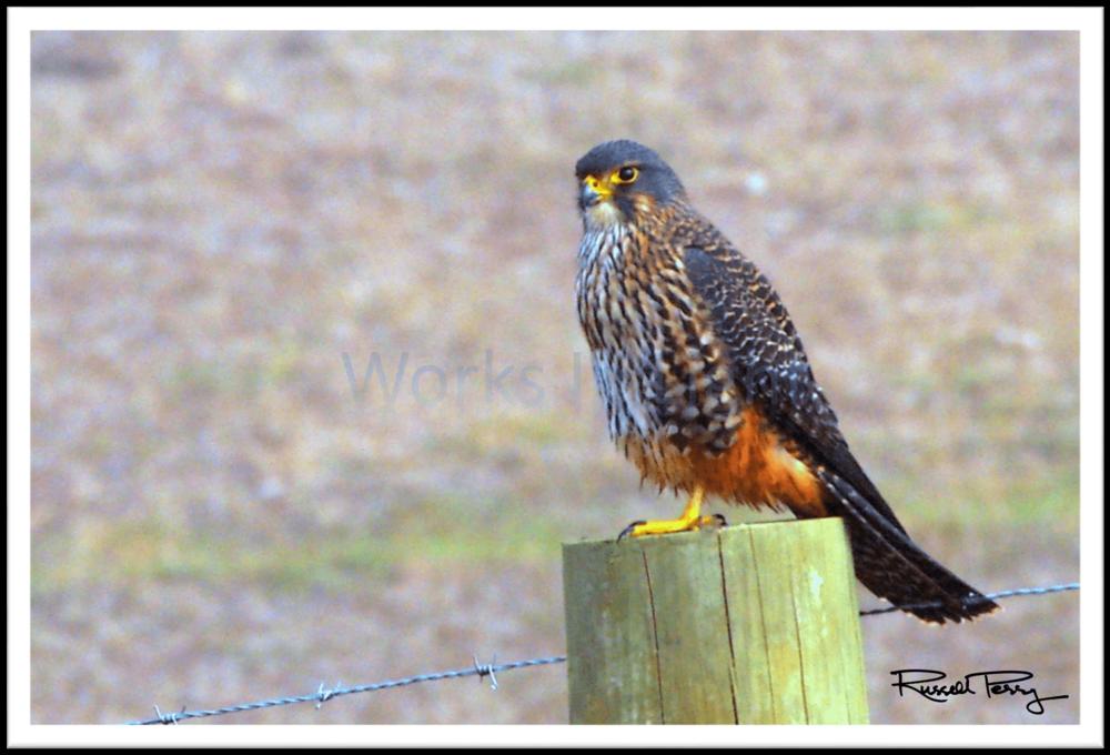 Karearea - Falcon-min.png
